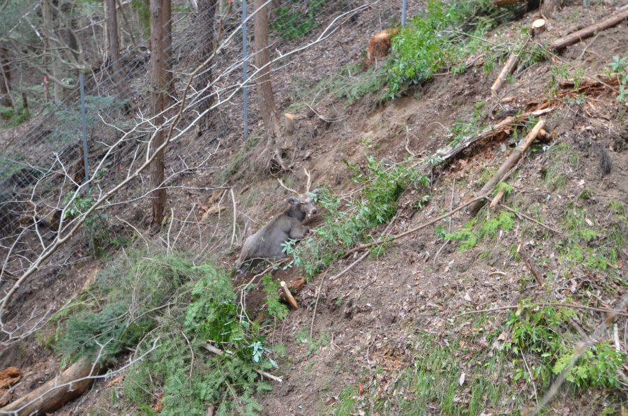 作業場のすぐ近くで、ワナにかかった雄シカがいた。ふもとの猟師さんに知らせなければ!